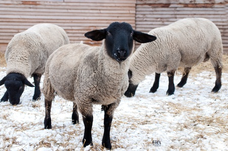 suffolk: Suffolk sheeps in winter farm
