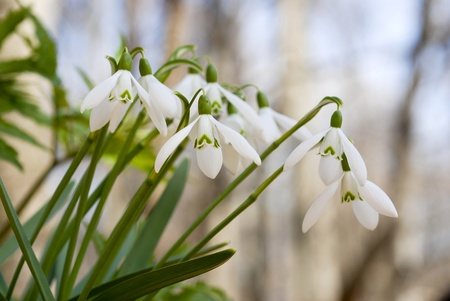 Snowdrops - messenger of spring 스톡 콘텐츠