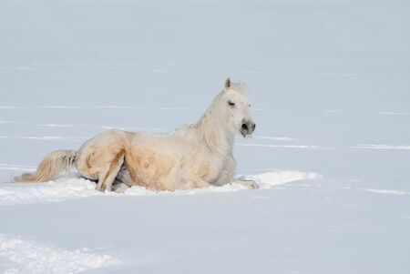 white horse in the snow free photo