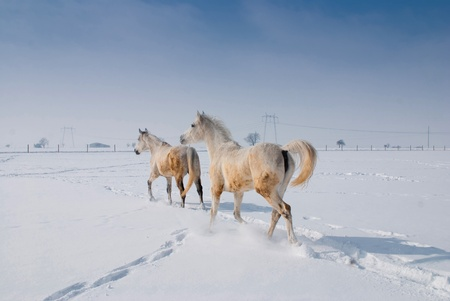 Two white horse in winter landscape photo