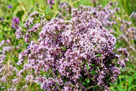 wild marjoram: Bouquet of wild marjoram with blurred background
