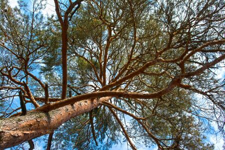 scots pine: Scots pine tree canopy with blue sky, abstract photography
