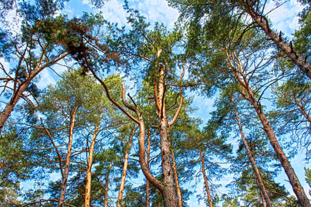 scots: Scots pine tree canopy with blue sky, abstract photography