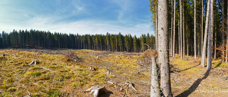 forest conservation: Clear-Cutting of a Pine Forest, destroyed landscape with blue sky
