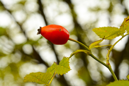 oxidation: Wild rose hip fruit with blurred background