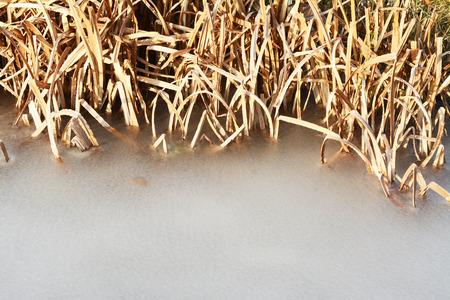 frozen creek: frozen creek with a dry sedge in sunshine
