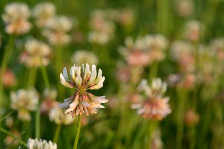 trifolium repens: White clover (Trifolium repens). Also known as Dutch clover and Ladino clover Stock Photo