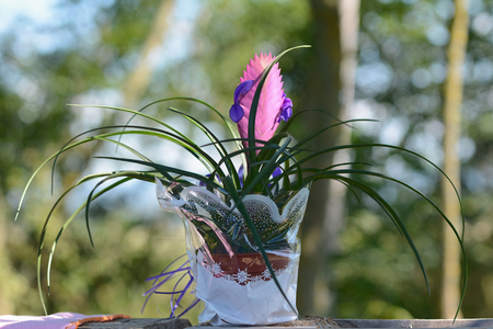 git: Potted flower in white cellophane gift packs. Stock Photo