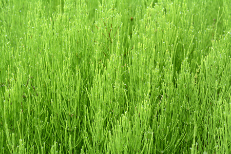 palustre: Marsh horsetail or the humpback. The marsh horsetail on shore , wet meadows , swamps , marshes , especially nitrogen -rich soils lives .