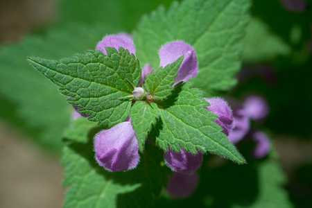 Henbit dead-nettle. Close-upy photography with selective focus and blurred background