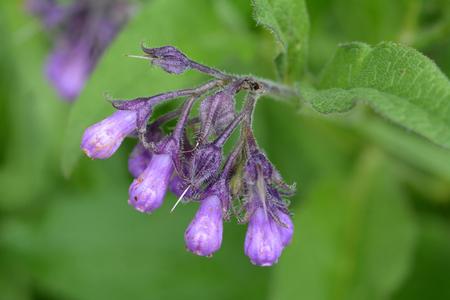 Wild common comfrey or true comfrey flower with selective focus