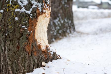 Beaver chewed wood. River, commitment. 版權商用圖片