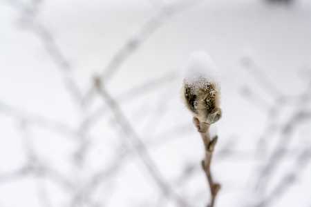 Bud of Magnolia in winter scene with snow Banque d'images