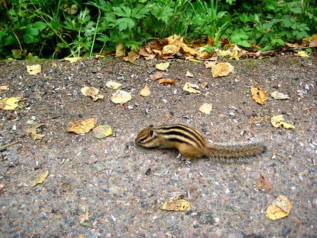 ardilla: Chipmunk en la pista come semillas de girasol