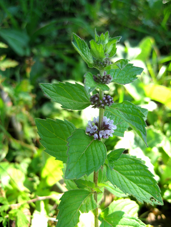 refreshes: Flower mint in the green grass