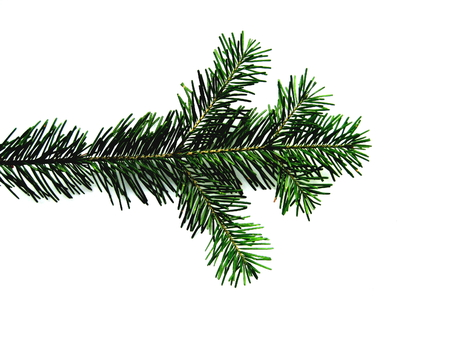 separately: Spruce branch on a white background separately
