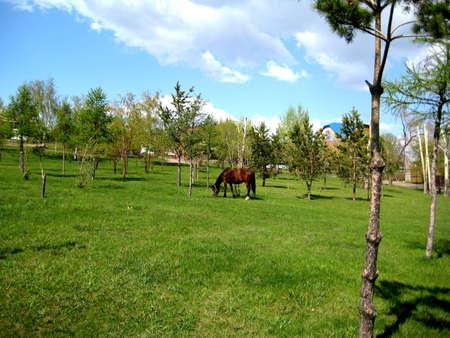 graze: Green meadow horses graze Stock Photo