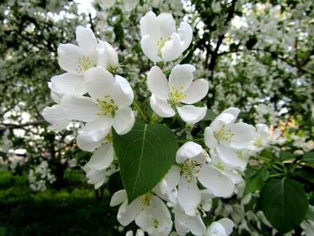 Flowering branch of apple tree with large white flower stock photo flowering branch of apple tree with large white flower stock photo 59631768 mightylinksfo