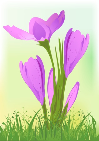 crocus: crocus Illustration