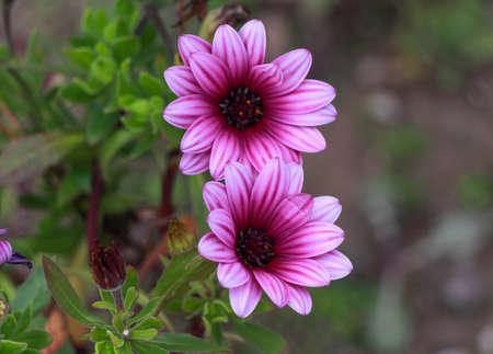 african daisy: Pink Osteospermum Daisy or Cape Daisy Flower. Closeup pink African Daisy flower (Osteospermum ecklonis). Stock Photo