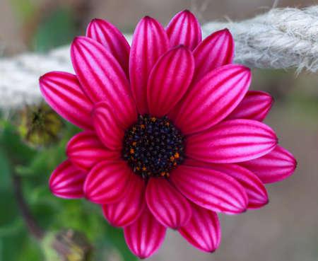 Pink Osteospermum Daisy or Cape Daisy Flower. Closeup pink African Daisy flower (Osteospermum ecklonis). photo