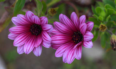 closeup of pink daisy with: Pink Osteospermum Daisy or Cape Daisy Flower. Closeup pink African Daisy flower (Osteospermum ecklonis). Stock Photo