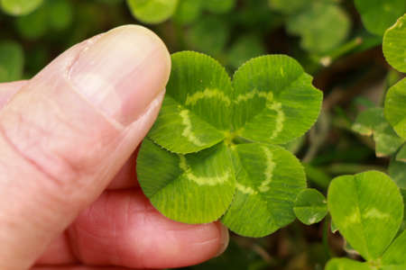 Woman hand picking four leaf clover on grass. photo