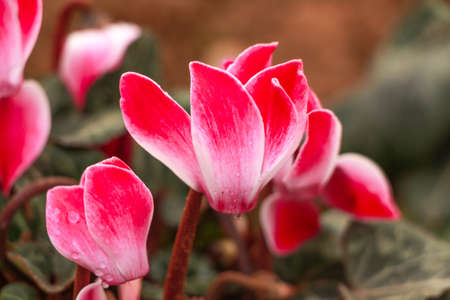 sowbread: Close up of colorful variegated white and pink cyclamen flowers