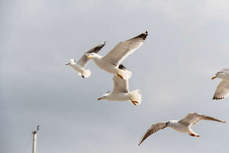 the seagulls: Seagulls. Beautiful seagulls flying in the sky.