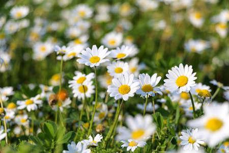 p�querette: Blanches fleurs de marguerite. Marguerites blanches. Fleurs de printemps.