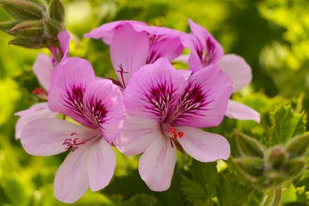 bicolor: Geranium flowers.Pink bicolor geraniums in the home garden.