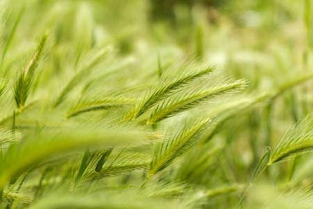 durum: Bl� vert. pic de champ Champ. Gros plan d'un champ de bl� dur vert