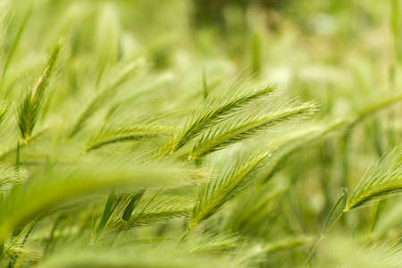 durum: Green wheat. Field field spike. Close up of a Green durum wheat field Stock Photo