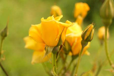 rosas amarillas: Rosa amarilla. Algunas rosas amarillas en el jardín.