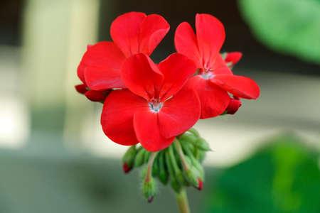 geranium color: Geranium flowers. Red bi color geraniums in the home garden. Red garden geranium flowers. Stock Photo