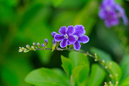 blue violet bright: Bright violet flower. Blue purple flowers.