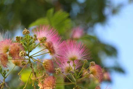 Beautiful and unusual fluffy pink flowers acacia in the garden beautiful and unusual fluffy pink flowers acacia in the garden abkhaziapink spongy needle flower on mightylinksfo