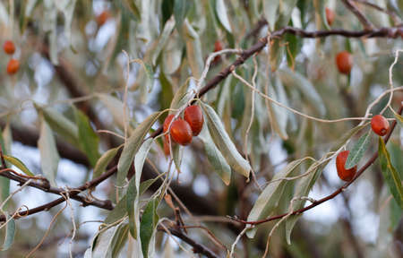 Jujube fruits ripened on the tree. Jujube, fruit tree of mediterranean countries. Jujube fruits ripened on the tree. Stock Photo