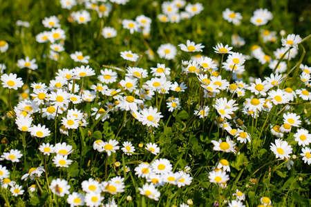 white daisies: White daisy flowers. White daisies. Spring flowers.