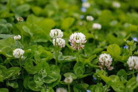 White clover Trifolium repens. Flower of the clover. Trifolium Repens L. White clover Dutch Clover Stock Photo