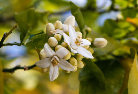 valencia orange: Orange blossoms grace a valencia tree in early spring. Orange flowering branches with blue sky background.