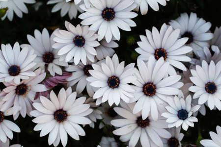 marguerite: Blanches fleurs de marguerite. Marguerites blanches. Fleurs de printemps.