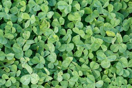 luckiness: Green grass clover seamless texture. Clover background. Stock Photo
