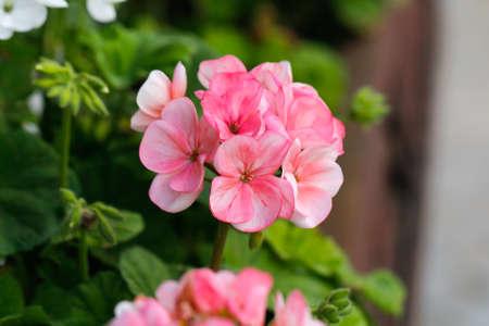 geranium color: Geranium flowers. Pink bi color geraniums in the home garden. Stock Photo