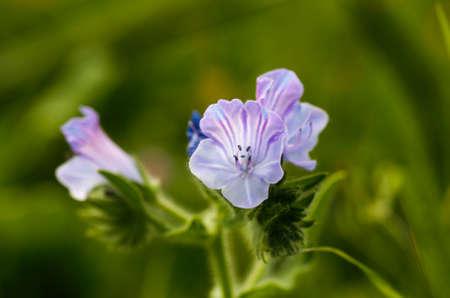purple flowers: Spring floral background. Purple flowers background. Spring flowers.
