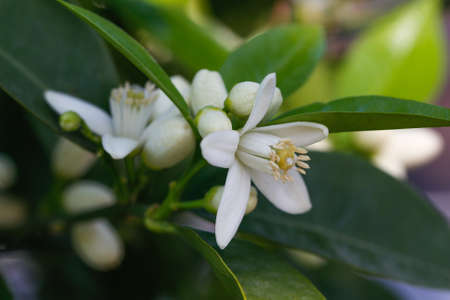early blossoms: Orange blossoms tree in early spring. Orange flowering branches.