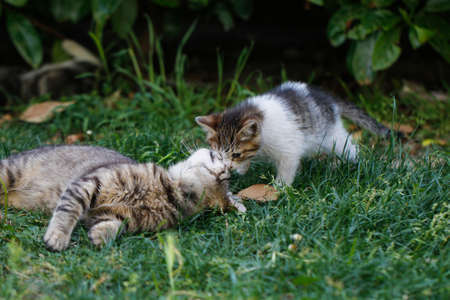 grey haired: Mother cat and her kitten. Kitten resting with his mother in the garden. Stock Photo