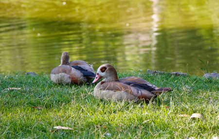 Egyptian Gooses on the green grass. Pair of Egyptian geese. photo