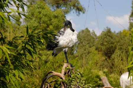 ibis: Australian White Ibis on a Tree. Sacred ibis.