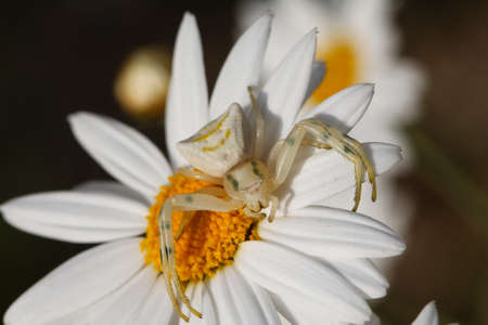 flower  crab  spider: Close up white spider. Thomisus onustus in white daisy flower. Small crab spider. Clearly unaware of the concept of camouflage.